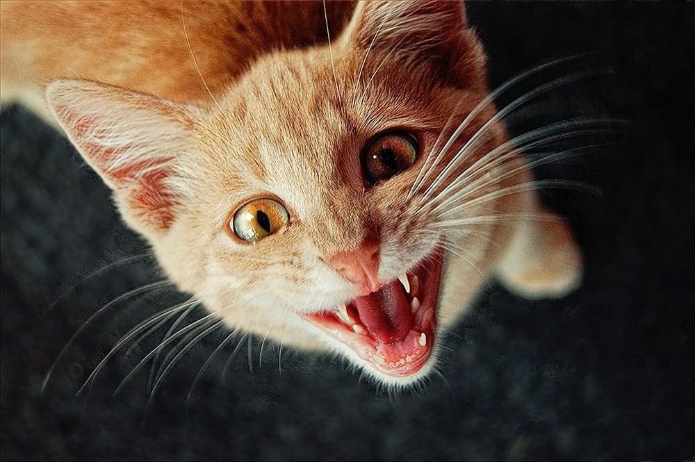 kot agresywny